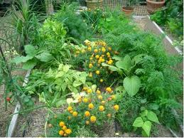companion planting flowers amongst vegetable plants
