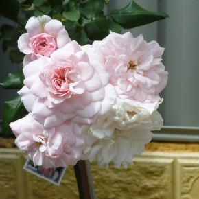 cluster of pale pink roses